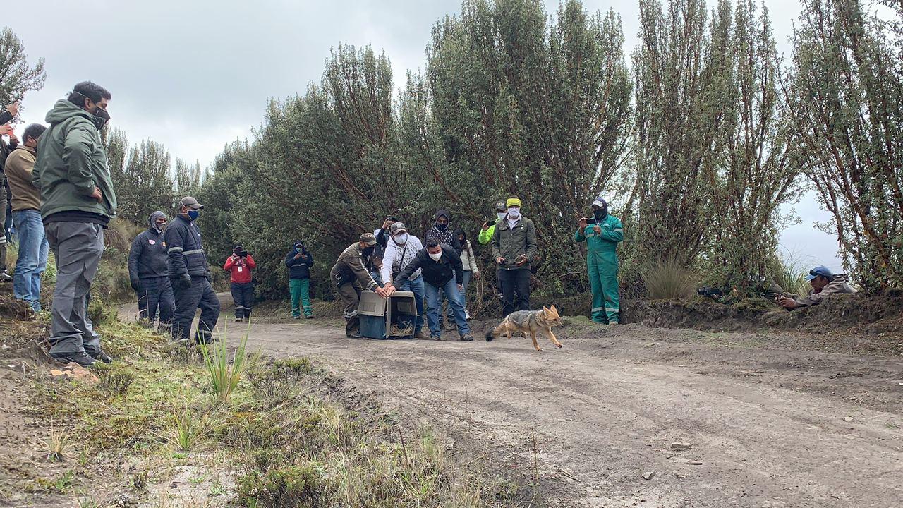 Liberan a una loba de páramo incautada, meses atrás, en Cochasquí